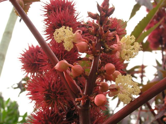 Rizinus-Blüte (Ricinus communis)