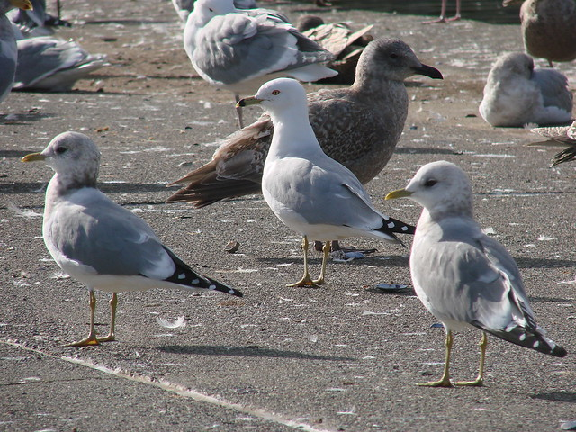 Glaucous-winged Gull, Mew Gull, Ring-billed Gull