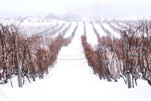 Day 55 - Wine Vinyard in the Snow