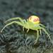 Arañas Cangrejo - Photo (c) Bill & Mark Bell, algunos derechos reservados (CC BY-NC-SA)