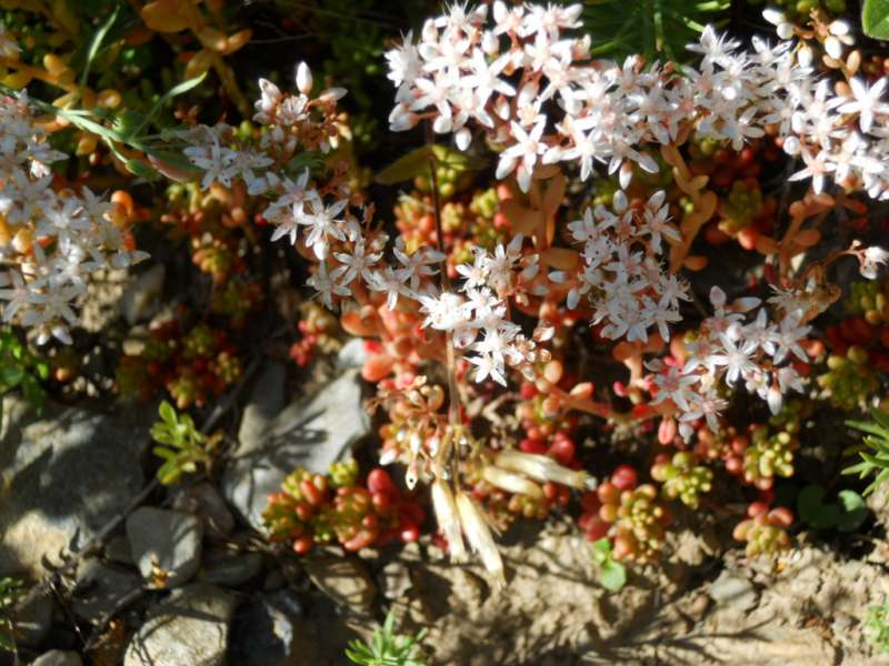 Sedum dasyphyllum 3
