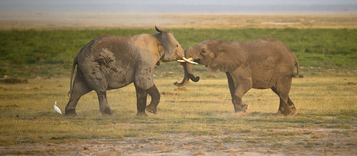 "Foto ""Elephant Fight"" by The.Rohit  - flickr"
