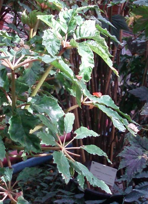 Begonia carolinifolia 5498405819_dd75f15138_o