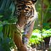 Tiger by Robert Lang Photography