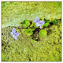 20 mars 2011 Maisons-Alfort C'est le printemps Entre béton et bitume, deux violettes