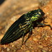 Metallic Wood-boring Beetles - Photo (c) Bill & Mark Bell, some rights reserved (CC BY-NC-SA)
