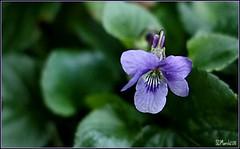 Delicate violet