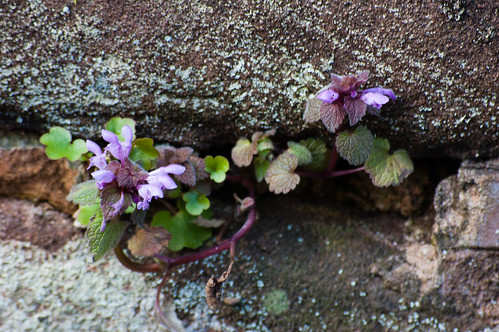 Dead nettle growing in a wall