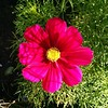 Some of our cosmos did nothing for ages but they're finally flowering! And they're big and beautiful. :cherry_blossom: