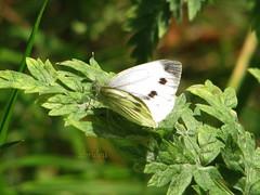 Small Cabbage White