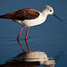 Black winged Stilt (Himantopus himantopus) - Tanzania 2011