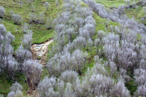 Death tea trees
