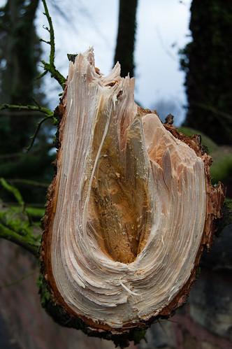 Cedar bough