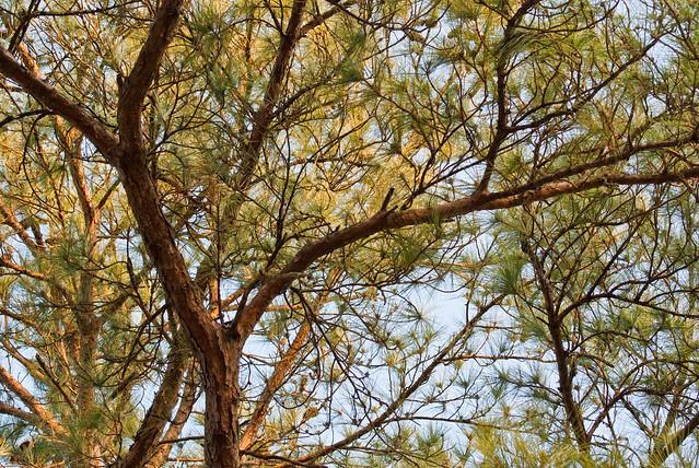 Southwest Georgia pines