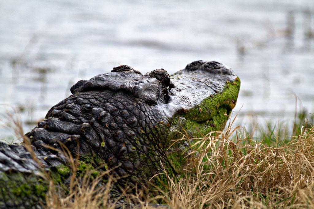 Where's a good Houston-area place to see alligators in the ...