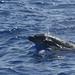 Bottle-nosed dolphin (Tony Mainwood)