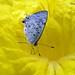 Flor ipê - amarelo e borboleta by Tony Borrach