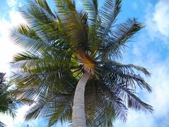 Palmier sur la plage de la grande anse du diamant