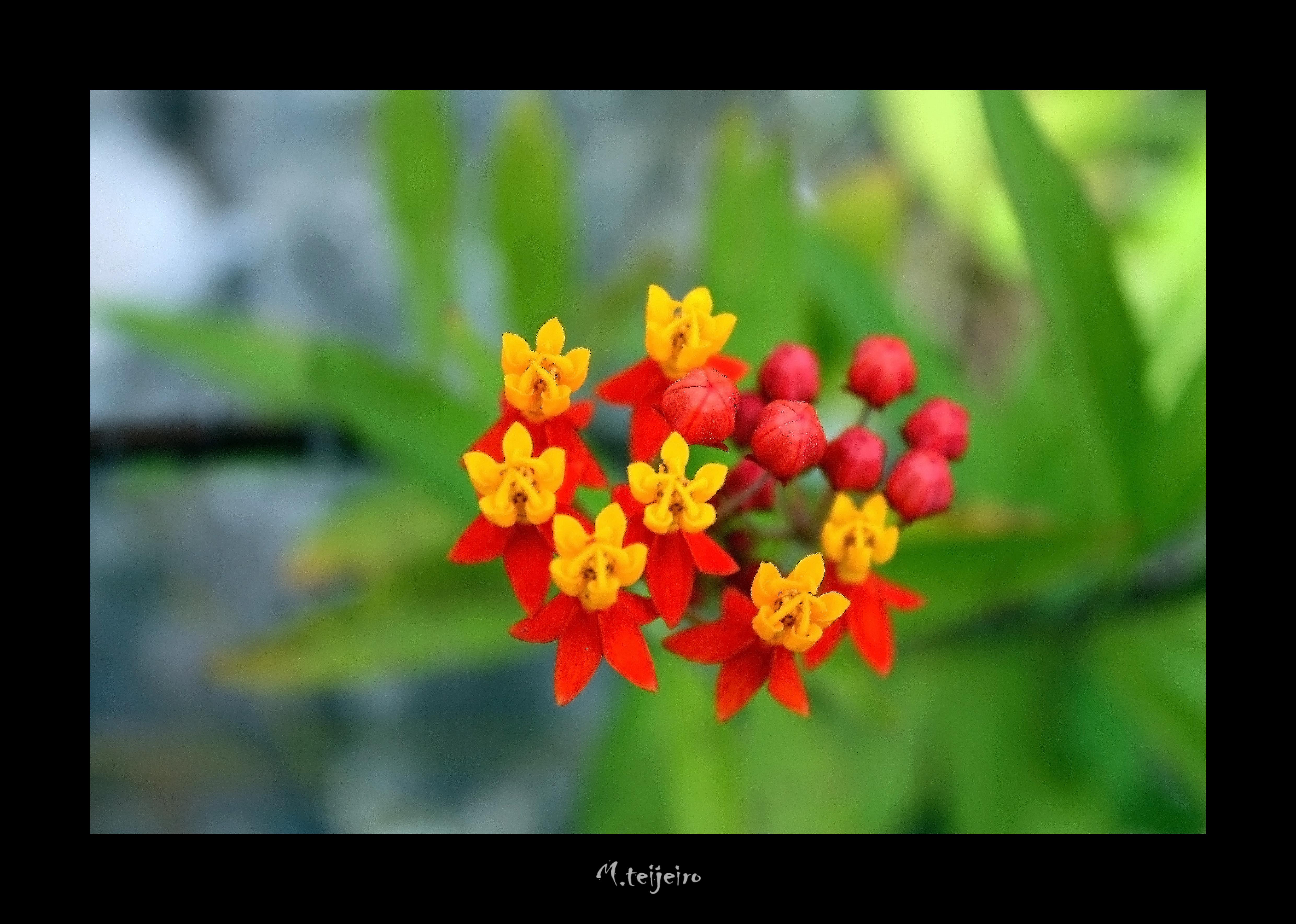 ASCLEPIAS CURASSAVICA (Flor de sangre) | Explore mikel990 ...