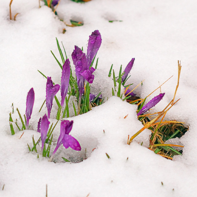 Francis Park, in Saint Louis, Missouri, USA - First flowers of spring, in the snow