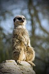 Meerkat V