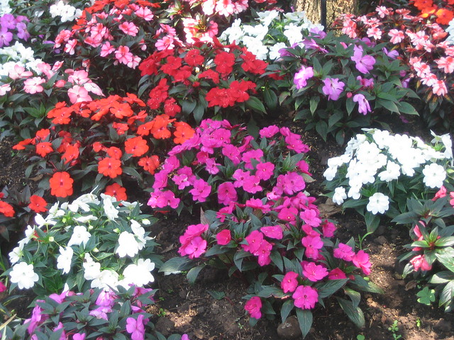 Flores chinas flickr photo sharing - Rosas chinas ...