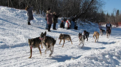 animal sports, dog, winter, vehicle, snow, mushing, dog sled, sled dog racing,
