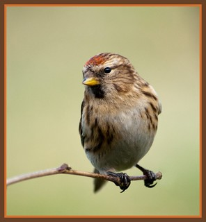 Lesser Redpoll (female) ~ EXPLORED