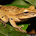 Rocket Treefrog - Photo (c) Todd Pierson, some rights reserved (CC BY-NC-SA)