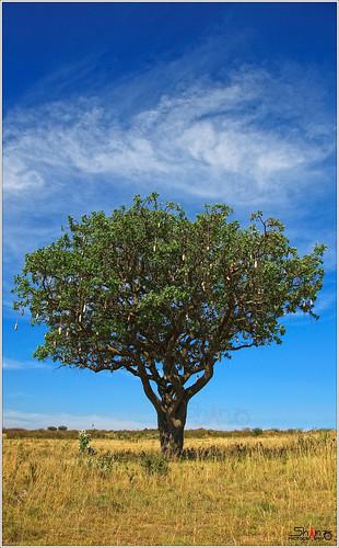 kenya masaimara sausagetree 18105mm kigeliaafricana nikond90mybackupcamera
