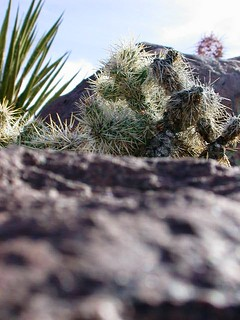 Three cacti - Nevada desert
