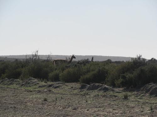 La Peninsula de Valdés: des guanacos