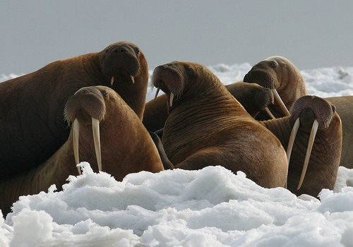 Melting Sea Ice Means Uncertain Future for Walruses
