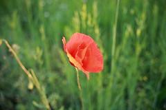 Il rosso papavero
