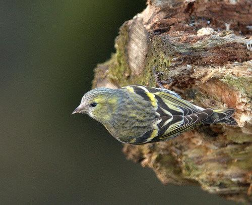 Siskin On A Log!