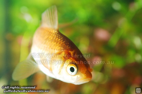 Common Goldfish - Carassius auratus | Flickr - Photo Sharing!