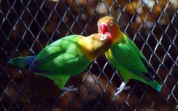 04 love birds