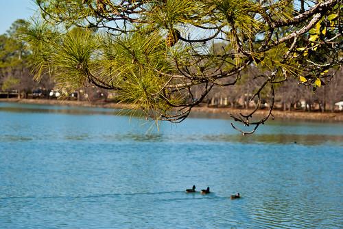 lake bird nature water animal pinetree georgia dof bokeh albany doughertycounty thesussman lakeloretta sonyalphadslra200
