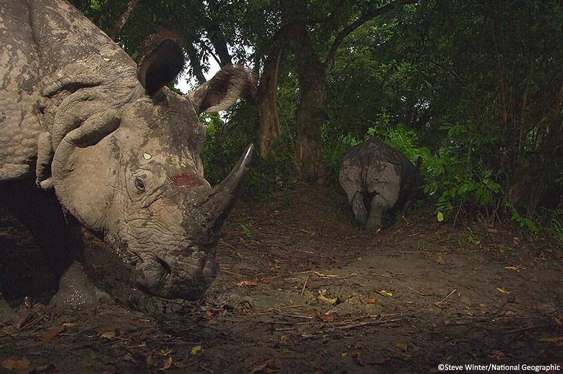 Rhino inspects a camera trap