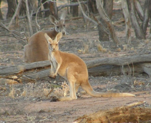 red_kangaroo_joey   Flickr - Photo Sharing!