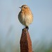 Northern Wheatear (David Morris)