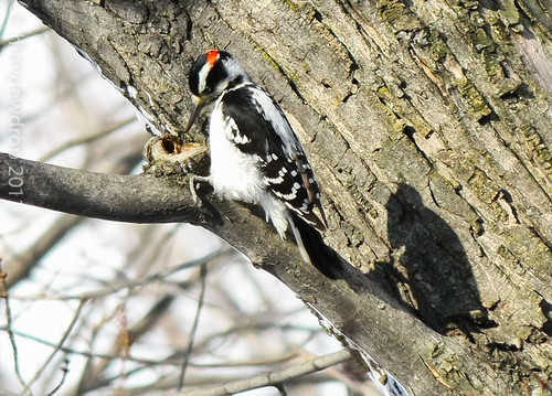 Male Hairy Woodpecker by Shiny Dewdrop