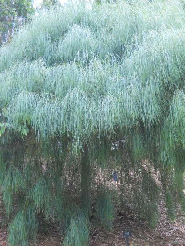 Acacia saligna v 1