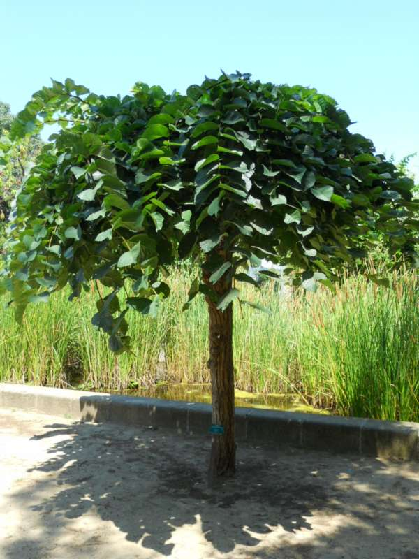Ulmus glabra 'Pendula' v 1