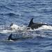 Bottle-nosed dolphins (Tony Mainwood)