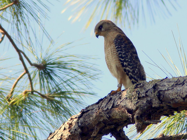 Red-shouldered Hawk 20110313