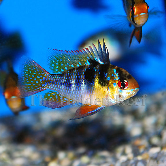 Photo for German ram fish