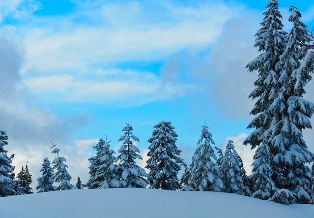 Snowy trees on Mount Seymour