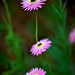 Helichrysum by shinichiro*