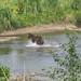 Bear 25